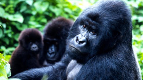 Mountain gorillas, Virunga National Park, Democratic Republic of Congo