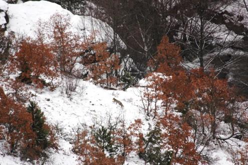 sircali kanyonu tilki