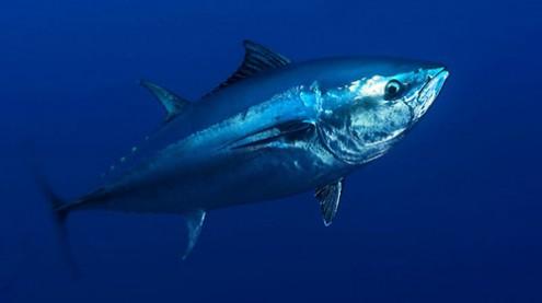 Atlantic bluefin tuna, Malta