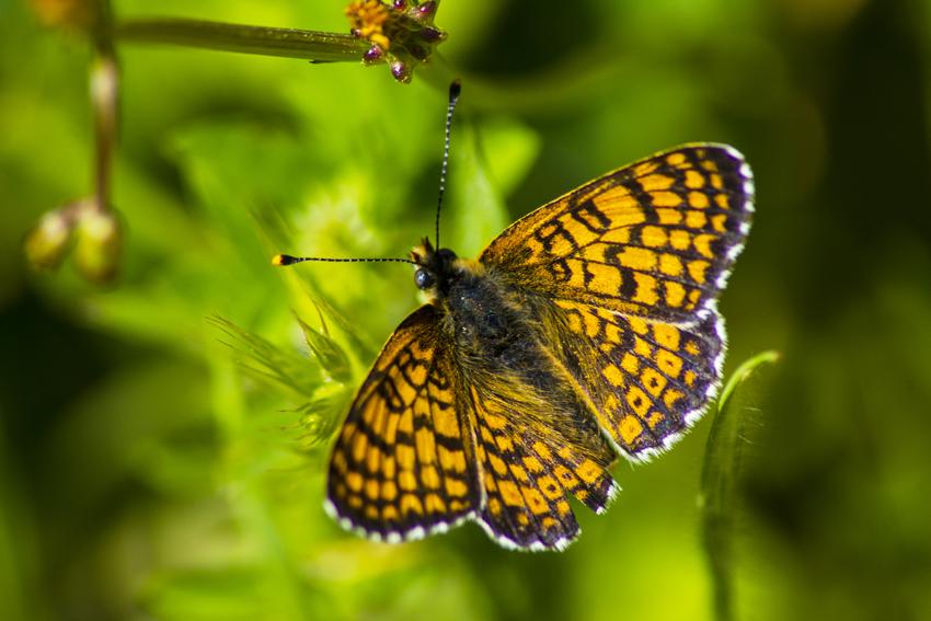 İda'nın Kelebekleri -95 | Sırtçantam Gezi ve Kültür Dergisi