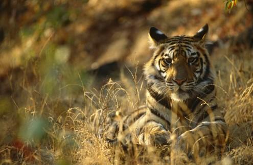Bengal tiger resting, India